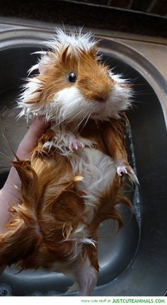 Cute Guinea Pig Getting A Bath. Oh our Trinket hated bath day!!
