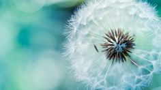 Attachment for Flowers Wallpaper in HD with Dandelion Flower in Macro Photography