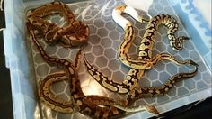 Some of our Royals here at ADS Reptiles