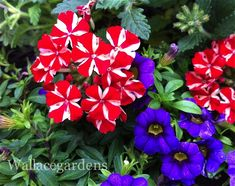 #PatrioticPlants #gardenchat @Hometalk Are you getting ready for a holiday weekend?!