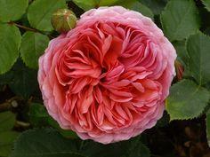 David Austin Rose 'Princess Alexandra of Kent'