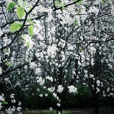 pear tree blooms | Bradford Pear tree in bloom! | Beauty All Around Me | Pinterest