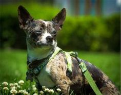Moe is an adoptable Chihuahua Dog in Glendale, NY. Moe is a 1 1/2 year old male Merle Chihuahua. He was an owner surrender. He is a very untrusting and scared little boy of new people. He needs someon...