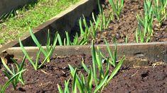Doma vyrobené hnojivo na česnek- správný poměr vody a amoniaku. Summer House Garden, Home And Garden, Compost, Farm Gardens, Type 4, Garden Design, Gardening, Plants, Youtube