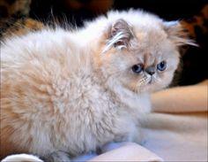 AWWWWWW!! I want a Persian cat. Smooooosh face
