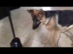 This is Kody our funny 6 month old German Shepherd Puppy! Every time the vacuum cleaner comes out he turns into a different dog! German Shepherd Puppies, Shepherd Dogs, Different Dogs, Bow Wow, 6 Month Olds, Cool Pets, Funny Dogs, Dog Cat, Simple Pleasures