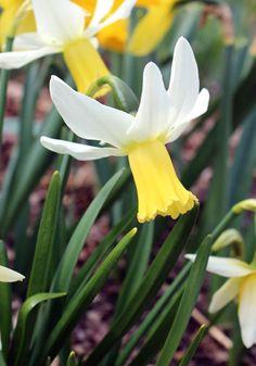 Jenny daffodil, 1943 oldhousegardens.com