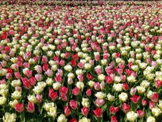 The Super Set Wallpaper Beautiful Tulips You Can Download Flower On Your Computer For Or Mobile Phone Wallpapers