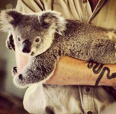 koala cuddle time
