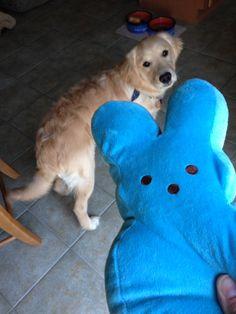 Jax got a giant blue Peep for Easter.  What a lucky dog! #sandypaws #goldentriever
