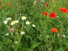 Oxeye daisies, Plantain, Clover and Poppies. Taken in June