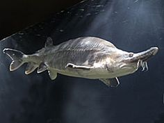 beluga sturgeon - Google Search