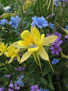 Aquilegia chrysantha 'Yellow Queen'  The longest blooming of all Columbines & it's FRAGRANT! Easily reaching 3' tall & 2' across, this vigorous, non-dwarfed, perennial bears a large number of large, long spurred, clearest yellow flowers from Spring till mid-Summer here along California's coast. The long nectar-filled spurs make for a sweet snack for butterflies & hummingbirds. Provide some compost  for best performance & cut back  after it's finished for a second round of bloom in late…