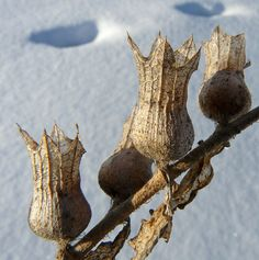 xxx ~ 'Seedpods in winter by annkelliott, via Flickr'