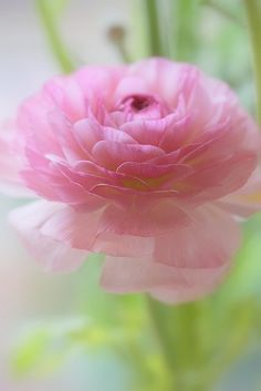 Pink - Love the ranunculus!