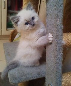 best images ideas of ragdoll kitten / kitty - most affectionate cat breeds. Best breed I ever had. Cute Cats And Kittens, I Love Cats, Crazy Cats, Cool Cats, Kittens Cutest, Cute Baby Animals, Animals And Pets, Funny Animals, Pretty Cats