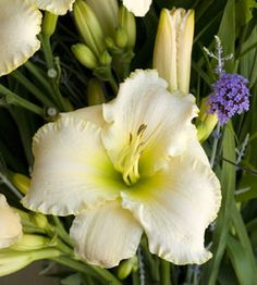 Daylily 'Early Snow'