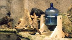 Spin the Jug. North Carolina Aquarium on Roanoke Island. This water jug toy is a new enrichment item for our otters and they are loving it!