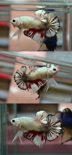 Betta Fish Plakat - LOVE HIM!!! <3