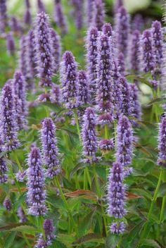 Agastache 'Blue Fortune' (dropplant / anijsplant) Butterfly Flowers, Blue Flowers, Prairie Meadows, Wildwood Flower, Hummingbird Garden, Garden Journal, Blue Garden, Garden Borders, Flower Planters