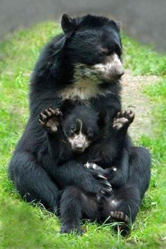 mom and baby Awww so sweet :) While I cant find the original source, Im guessing th. Awww so sweet :) While I cant find the original source, Im guessing they may be Spectacled Bears (as the pattern doesnt quite fit with the Asiatic black bear/Sun Bear) Animals And Pets, Baby Animals, Cute Animals, Beautiful Creatures, Animals Beautiful, Spectacled Bear, Cute Bear, Tier Fotos, All Gods Creatures