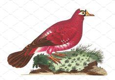 Illustration of pigeon - Animals - 1