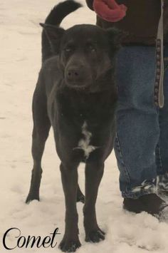 """Urgent/longtime resident """"COMET"""" needs a loving home with TLC!!!! Mahoning County Dog Pound Youngstown, OHIO...Available on: 12/23Contact: fofmcdp@gmail.comAllrel=""""nofo...> dogs are spayed/neutered before you bring them home. $80 to the vet for a rabies vaccine and spay/neuter. $55 at the pound for a dhlpp vaccine, 1 dose of wormer and a license. TOTAL: $135.All breeds..."""