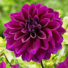 Dahlia Thomas Edison. The classic purple dahlia. Thomas Edison's extra-large, velvety petals give this dinnerplate dahlia a regal look.
