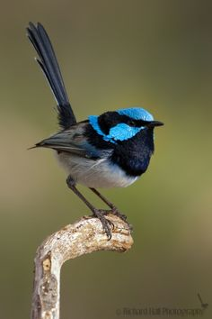 Superb Fairy-wren, Australia. I have these in my garden every morning. Even when I can't see them, I can hear their song.
