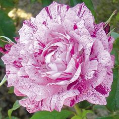 Purple Tiger Striped Rose