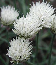 Allium schoenoprasum 'Elbe' - Weißer Schnittlauch
