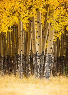 Quaking Aspens!!! Gorgeous shadows they cast!  The most beautiful trees in the world