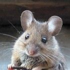 Funny and Cute Mouses - Funny Mouse Picture 062 (FunnyPica.com)