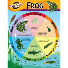 Frog Life Cycle on Pinterest | Frog Life Cycles, Life Cycles and Frogs