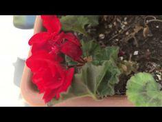 sardunyalara nasıl kolay yolla çiçek açtırılır - YouTube