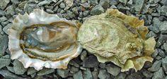 Deep Bay Oysters  Deep Bay,   east Vancouver Island,   British Columbia