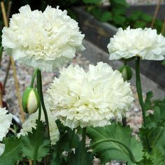 PIONVALLMO 'White Cloud' i gruppen Ettåriga blomsterväxter hos Impecta Fröhandel (8620)