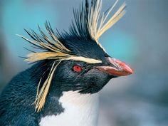 El pingüino más longevo en cautividad: vivió 29 años. Más récords animales en http://www.muyinteresante.es/naturaleza/fotos/los-records-mas-curiosos-del-mundo-animal/el-pinguino-mas-longevo