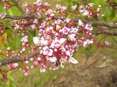 Star Fruit (carambola) blossom