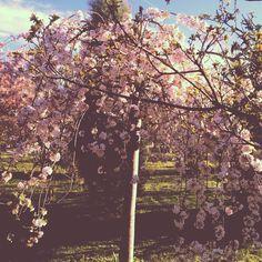 Weeping cherry tree.  #Lidvegas
