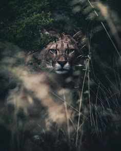 Mountain Lion - Photo by So, ur walking down the trail then u wet yourself. Big Animals, Nature Animals, Animals And Pets, Pumas, Beautiful Creatures, Animals Beautiful, Lions Photos, Mountain Lion, Wildlife Nature
