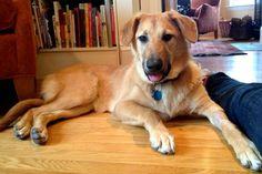 chinnock dog photo | Chinooks are very intelligent dogs. By: Wachusett Chinooks/Facebook
