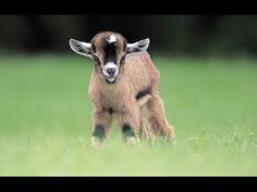 """Cute Baby Pygmy Goats Compilation"" 