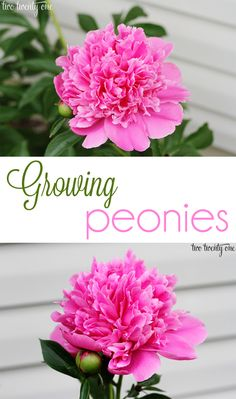 "How to Grow Peonies - zones 2 - 8, plant in full sun, can take a couple years to start blooming profusely, deadhead just above first set of true leaves, best to divide and transplant in the fall, plant shallow, after first frost cut peonies down to 4"" above ground."
