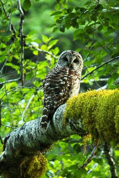 Barred Owl in Gifford Pinchot National Forest of Washington State.  I have a couple photographs I shot of these guys! :)