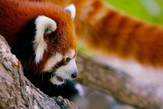 "Red Beauty. Photo: ""Red Panda_17"" by Josh More/guppiecat on flickr CC BY-NC-ND 2.0 http://ift.tt/1Q7RdXy"