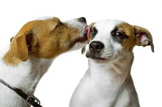 Jack Russels love each other!