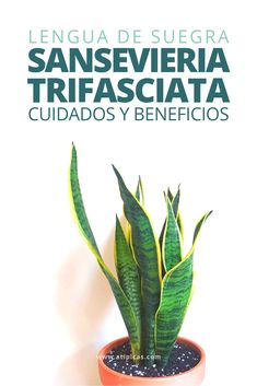 Cómo cuidar a Sansevieria trifasciata Sansevieria Trifasciata, Green Plants, Cactus Plants, Indoor Garden, Indoor Plants, All Body Workout, Plants Are Friends, Interior Plants, Plant Decor