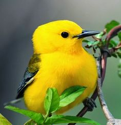 Simply Charming Birds: Yellow Warbler
