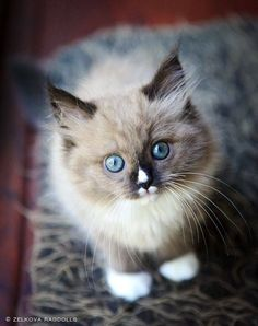 .Adorable little Snowshoe kitten! love the little white triangle on the nose..♥